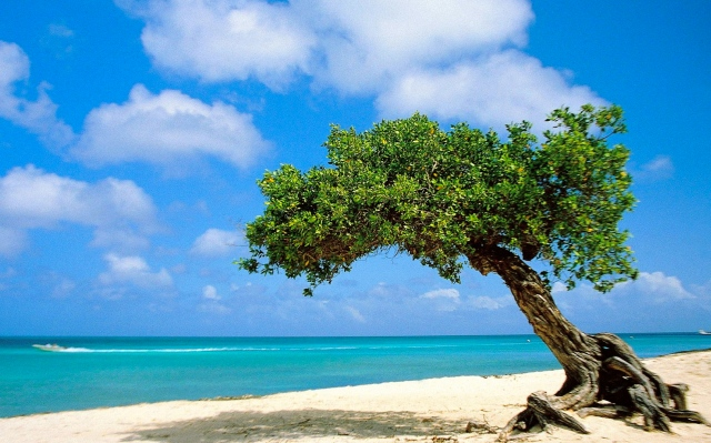 Divi-divi-Tree-Aruba-pictures
